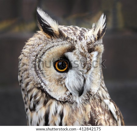 The Boreal Owl. In Europe, it is typically known as Tengmalm's owl after Swedish naturalist Peter Gustaf Tengmalm or, Richardson's owl after Sir John Richardson. Shallow depth, selective focus. - stock photo