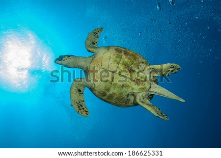 The bottom of a green sea turtle swimming through the big blue sea with the sun bursting through the surface. - stock photo