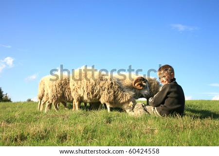 The boy is feeding sheep on the meadow. Skudde - the most primitive sheep breed in Europe - stock photo