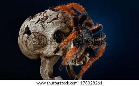 The Brachypelma klaasi (Mexican Pink Tarantula). - stock photo