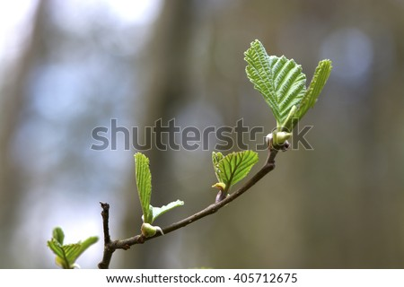 The branch and the young spring leaves.
