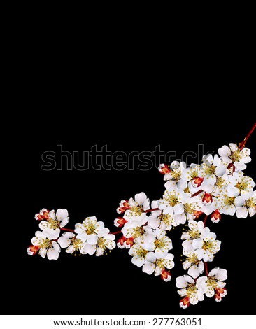 The branch of a white flowering apricots isolated on a black background