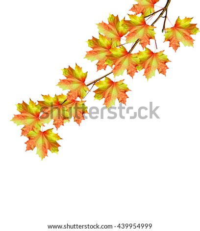 The branch of autumn maple leaves isolated on white background. - stock photo