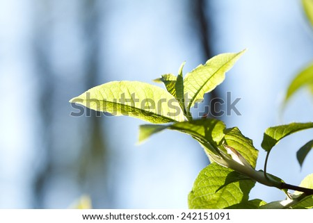 The branch of bird-cherry tree in forest. - stock photo
