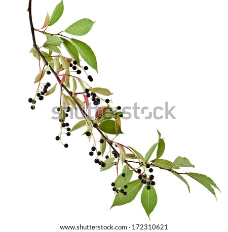 The branch of bird-cherry tree (Prunus padus) isolated on a white background  - stock photo