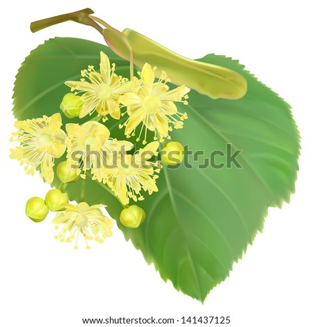 The branch of blossoming linden - stock photo