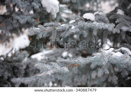 The branch of blue spruce, covered by snow