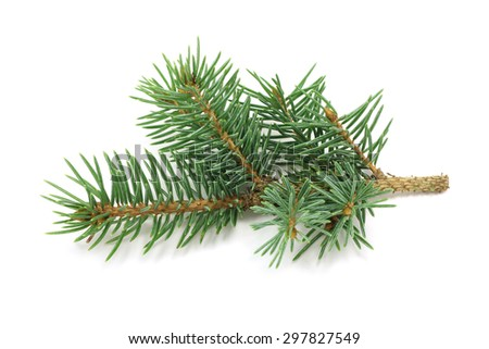 The branch of blue spruce on white background - stock photo