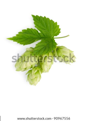 The branch of green hops