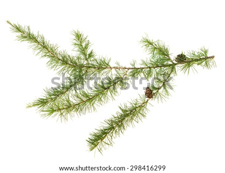 The branch of larch cones isolated on white background. - stock photo