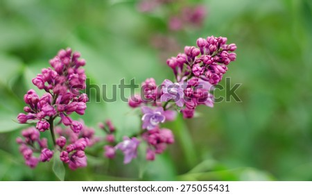 The branch of lilac that blooms on a green background. Soft focus - stock photo