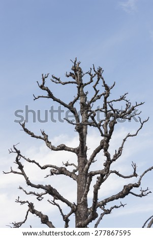 The branch of old tree in the blue sky in the morning, japan.  - stock photo