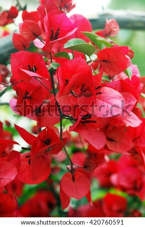 The branch of red bougainvillea flowers - stock photo