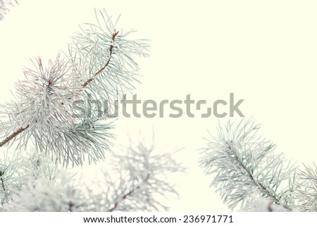 The branch of spruce or pine tree covered with snow. Winter forest, nature, winter, frost, frosty day - the concept for the New Year greeting card or background image for the winter season. Winter.