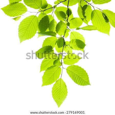 The branch of tree with green leaves on white background