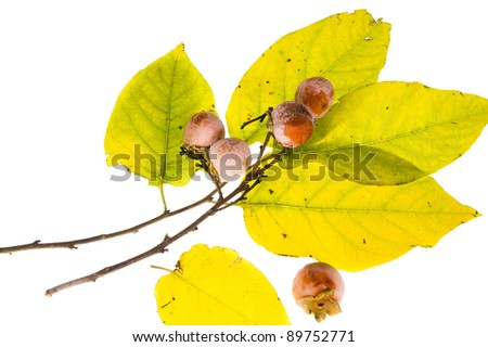 The branch of wild American persimmon (Diospyros virginiana) with ripe fruit on a white background - stock photo