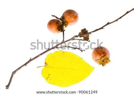 The branch of wild American persimmon with ripe fruit on a white background - stock photo