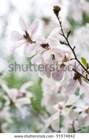 The branch with pink flowers of magnolia - stock photo