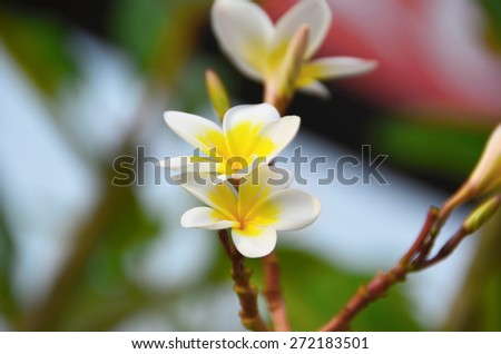 The branch with two white plumeria flowers - stock photo