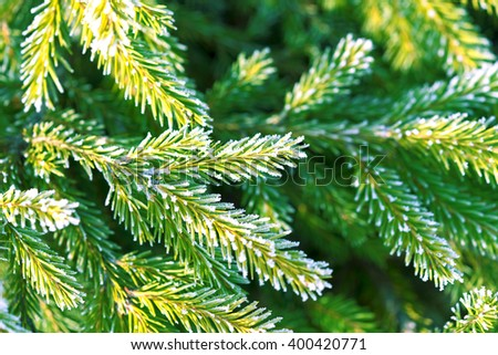The branches and green needles of pine tree covered with frost