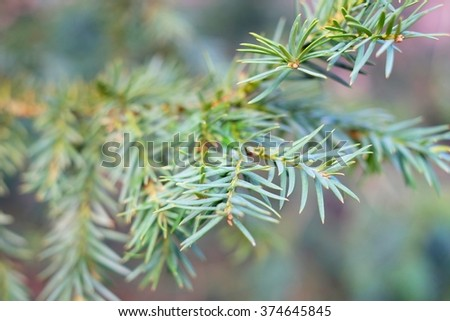 The branches of a juniper - stock photo