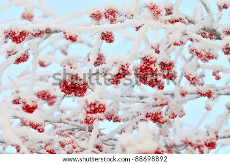 The branches of ashberry under snow like sweeties - stock photo