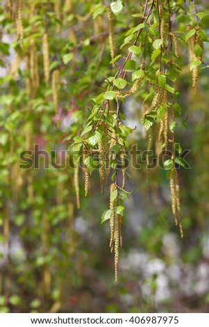 The branches of the birch tree with young green leaves and buds. Selective focus with shallow depth of field - stock photo