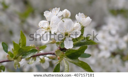 The branches of the tree with young green leaves, white flowers and buds. Selective focus with shallow depth of field - stock photo