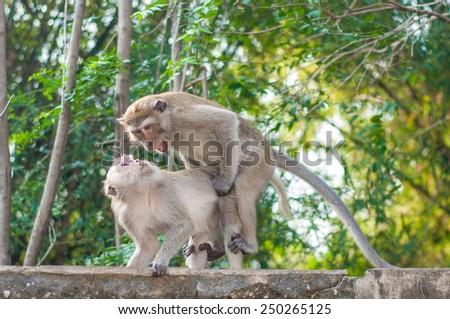 The breeding of monkey. - stock photo