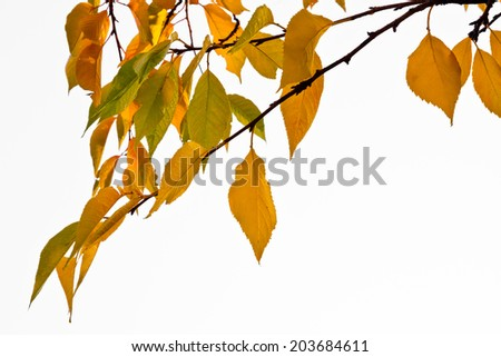 The bright colors of autumn trees. Yellow leaves on a white background. - stock photo