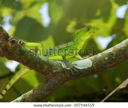 The bright green and blue female Plumed or Green Basilisk, Basiliscus, perched on a tree branch in Costa Rica - stock photo