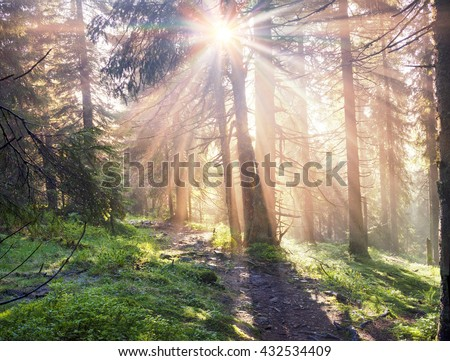 The bright rays of the sunrise in the misty Carpathian Ukraine forest cover wet branches of fir trees, green moss and blueberries, which against the backdrop of a golden haze shining dew drops - stock photo