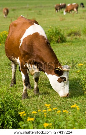 The brindled cows browse in the green field - stock photo