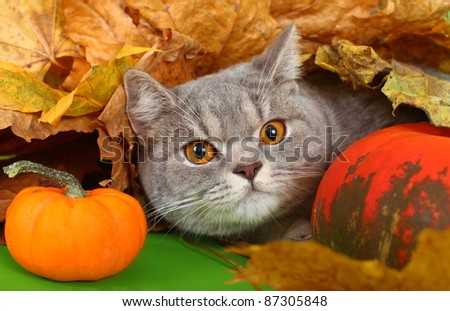 The British cat with a pumpkin and autumn leaves. - stock photo