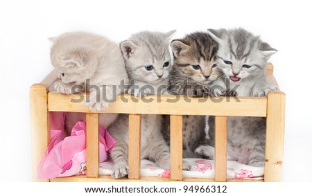 The British kittens in an arena - stock photo