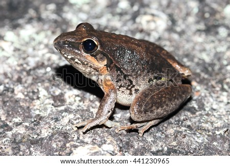 The broad-palmed frog is an Australian ground-dwelling tree frog. It is native to much of eastern Australia. They can be found from mid-Queensland to south of Sydney. - stock photo