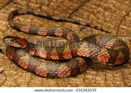 The brown-banded water snake is a species of aquatic snake found in tropical South America and Trinidad and Tobago. - stock photo