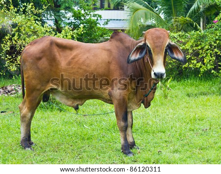 The brown Brahman cattle standing on the yard - stock photo