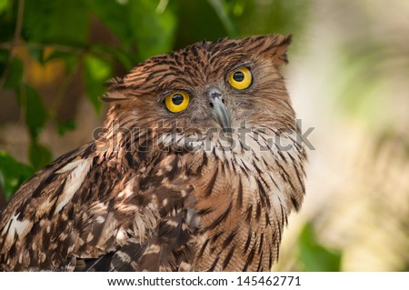 The Brown Fish Owl is an owl. This species is a part of the family known as typical owls. - stock photo