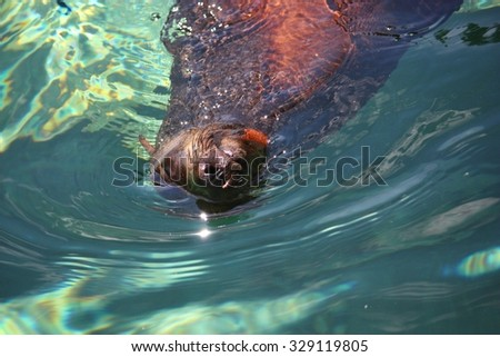 The brown fur seal (Arctocephalus pusillus), also known as the Cape fur seal, South African fur seal and the Australian fur seal