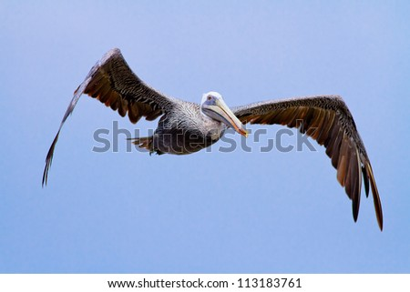 The brown Pelican fly over - stock photo