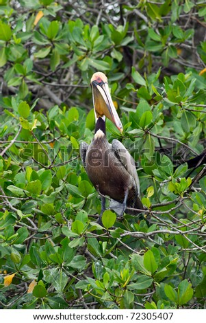 THE BROWN PELICAN IS THE SMALLEST OF THE EIGHT SPECIES OF PELICAN, ALTHOUGH IT IS A LARGE BIRD IN NEARLY EVERY OTHER REGARD   - stock photo
