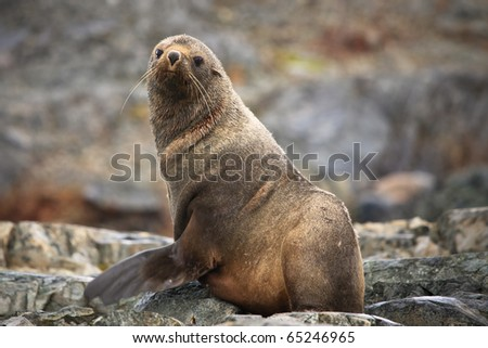 The brown seal has a rest on stones in Antarctica - stock photo
