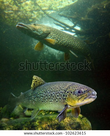 The brown trout (Salmo trutta) and a big pike (Esox lucius) in a mountain lake. Close up with shallow DOF. - stock photo
