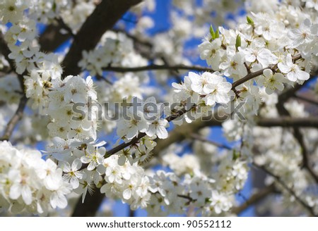 the brunches of blossoming spring tree against blue sky - stock photo
