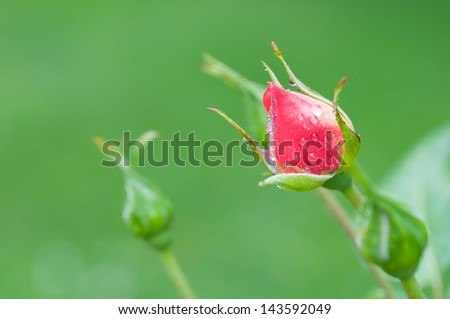 The bud of a red rose just before flowering - stock photo