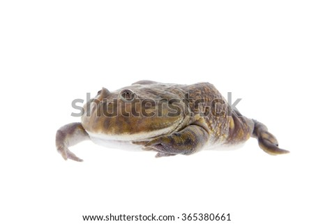 The Budgett's frog, wide-mouth frog, or hippo frog, Lepidobatrachus laevis, isolated on white background - stock photo