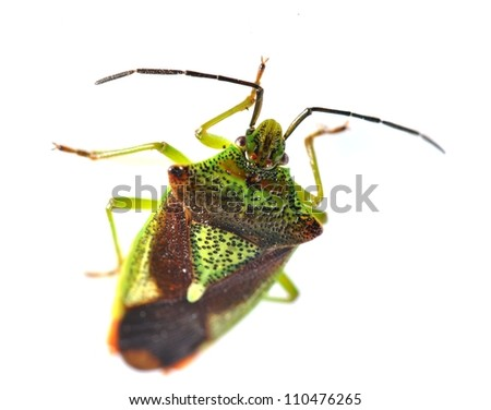 The bug Acanthosoma haemorrhoidale on white background