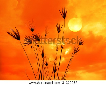 The bulrushes against sunlight over sky background in sunset.See more sunset  in my portfolio