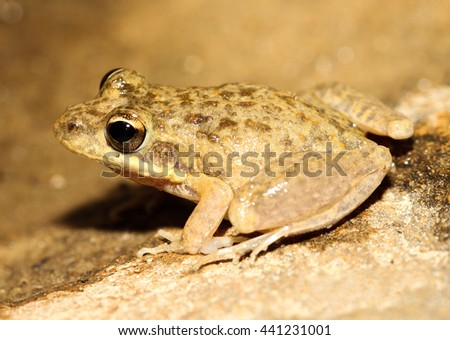 The bumpy rocket frog or Peters' frog is an abundant species of frog in the Hylidae family. It is endemic to northern Australia, south to Maryborough, Queensland. - stock photo